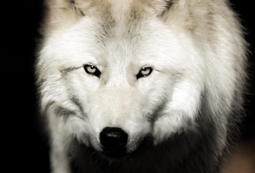 Wolf's look